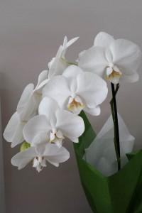 Phalaenopsis plant gift