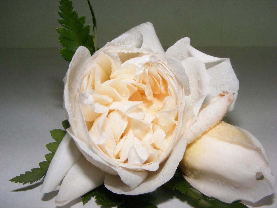 Cream David Austin rose buttonhole