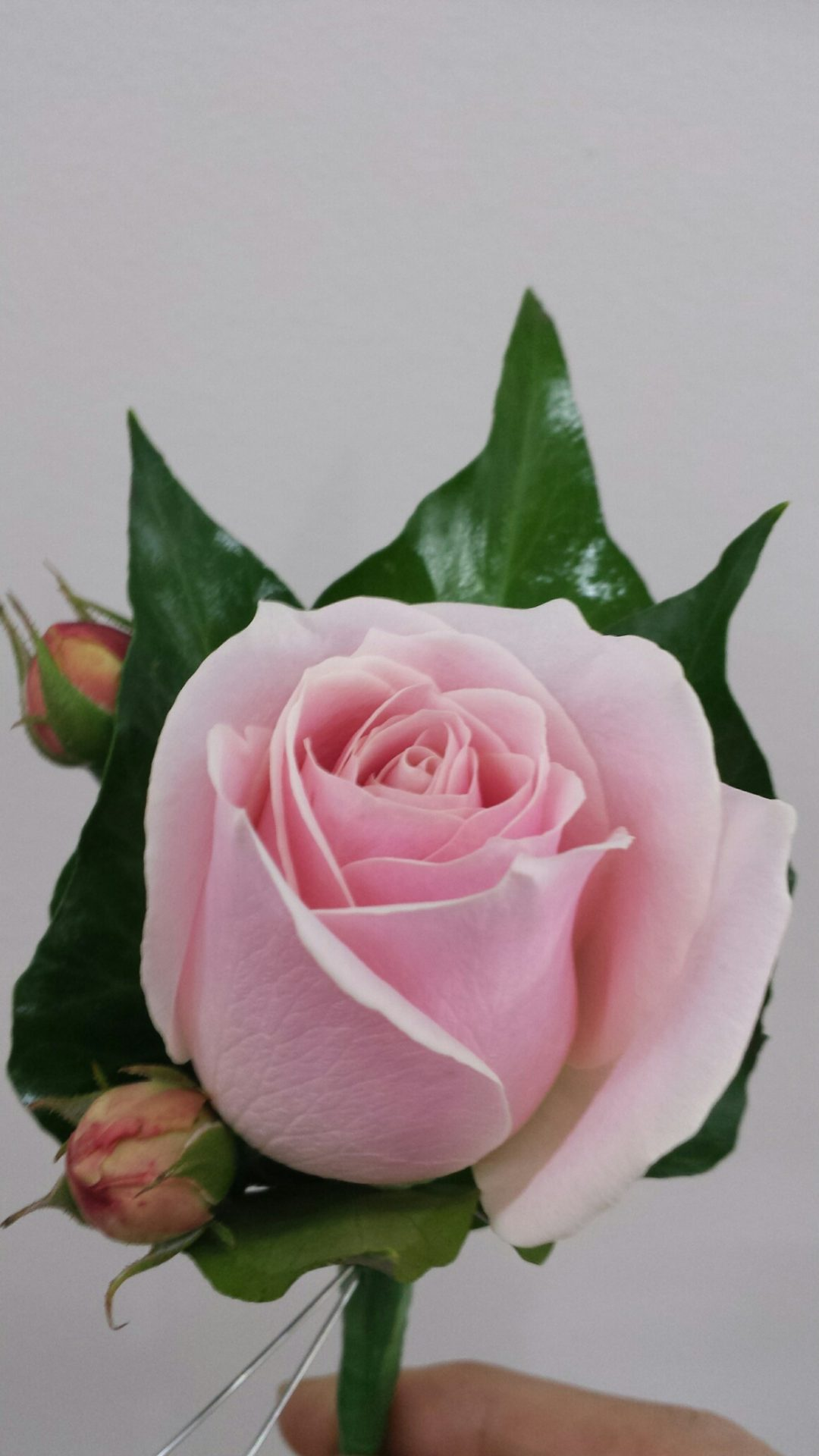 Pink rose and Buds Buttonhole