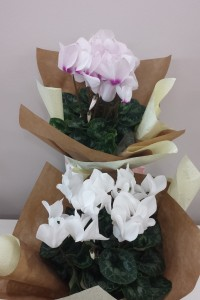 Flowering Cyclamen plant gift wrapped.