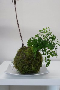 Maiden Hair fern Kokedama