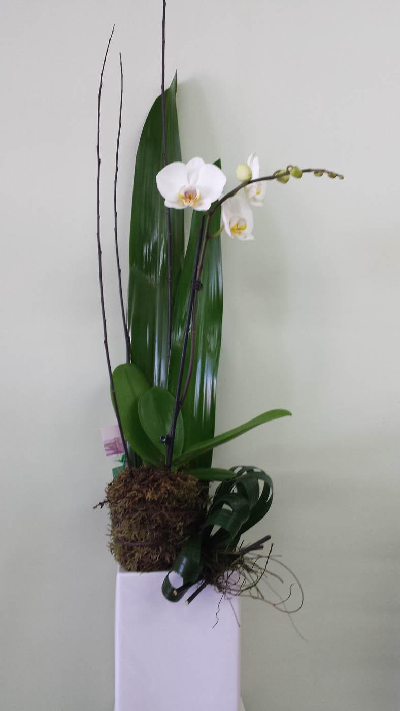 Premium Phalaenopsis Plant