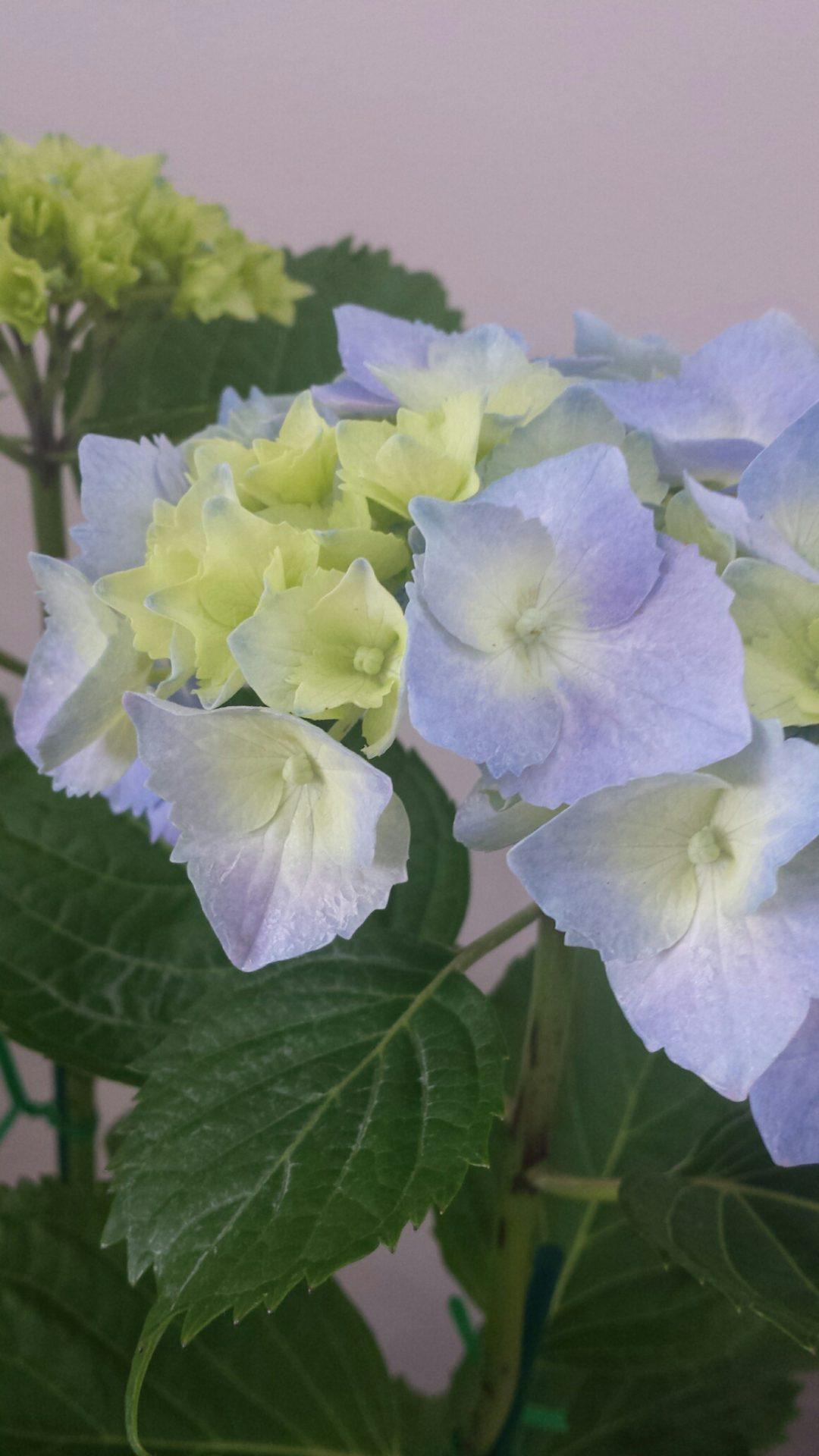Stunning Hydrangea plants - sesonal