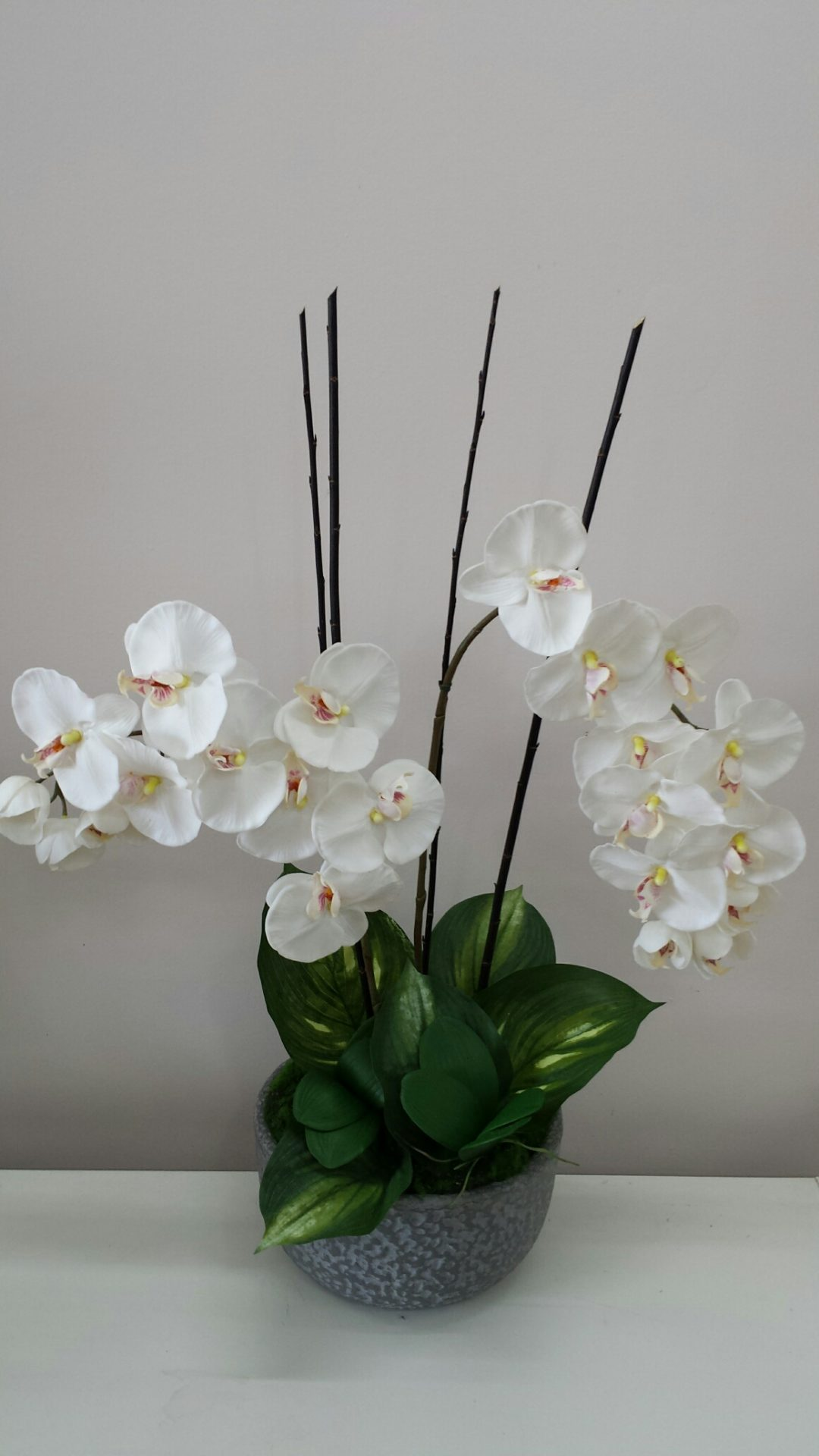 Phalaenopsis Orchid in stone ceramic pot
