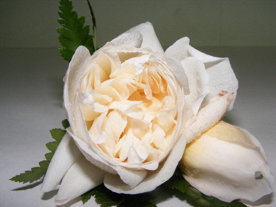Cream David Austin rose buttonhole