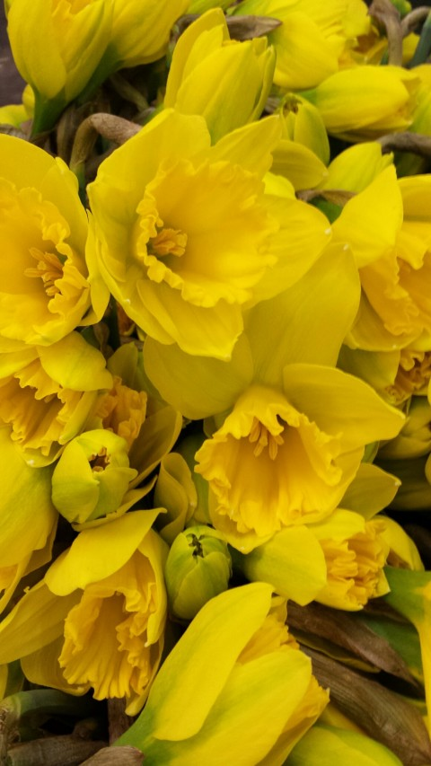 Bright Daffodil bunches