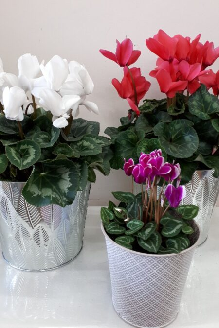cyclamon plant
