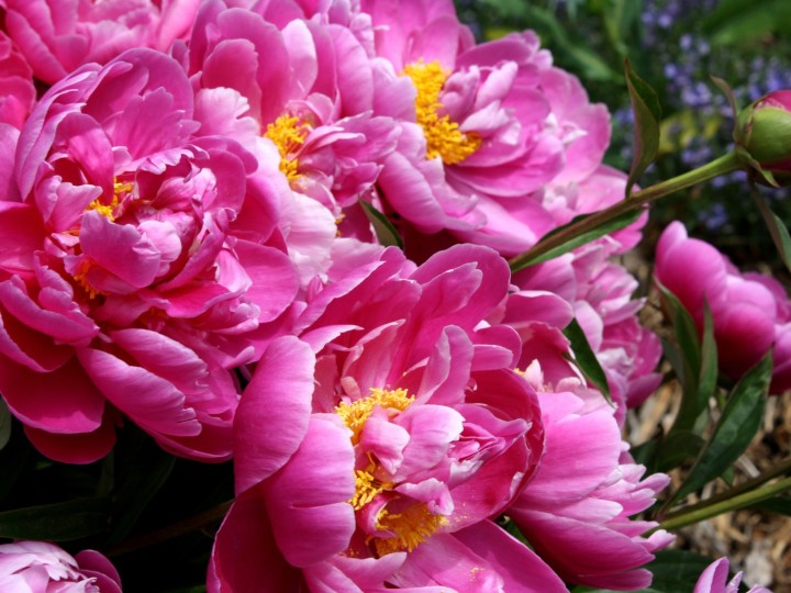Peonies are here!
